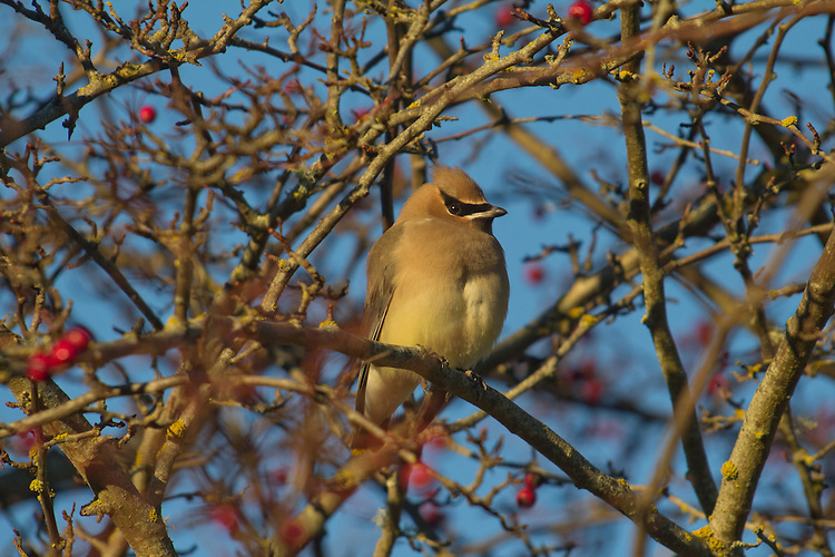 Cedar Waxwing, Bombycilla cedrorum Vieillot, winter feeding on berries, Port Townsend, Fort Worden, Jefferson County, Washington State, Pacific Flyway, Pacific Northwest, Western Washington birds,