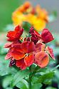 Cheiranthus 'Sugar Rush', late December. A modern autumn-through-to-spring-flowering wallflower.