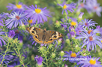 03411-01307 Common Buckeye (Junonia coenia) on Frikart's Aster (Aster frikartii) Marion Co. IL