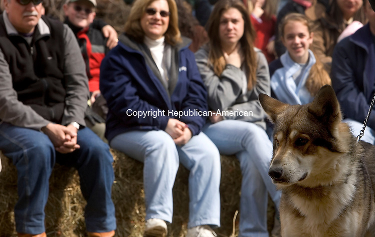 SOUTHBURY, CT--11 MARCH 2007--031107JS08- Denahee, a 15-month-old Timber Wolf looks around during a wolf educational lecture Sunday at Phillips Farm in Southbury. The program was organized by the Southbury Land Trust. <br /> Jim Shannon / Republican-American