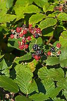 Brombeere, Brombeeren, Früchte, Rubus fruticosus, Bramble, fruit