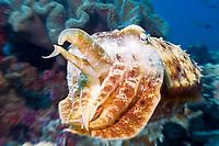 Broadclub Cuttlefish, Sepia latimanus, Raja Ampat, Indonesia