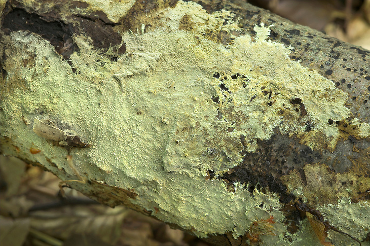 yellow cobweb<br /> Phlebiella sulphurea