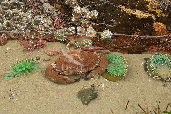 Rock Crab in tidepool among green anemone.  Oregon coast.