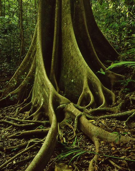 Fig Butress Roots<br /> Wooroonooran NP<br /> Wet Tropics WHA<br /> FNQ