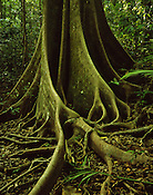 Fig Butress Roots<br />