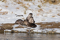 Northern River Otter (Lontra canadensis) playing along edge of river.