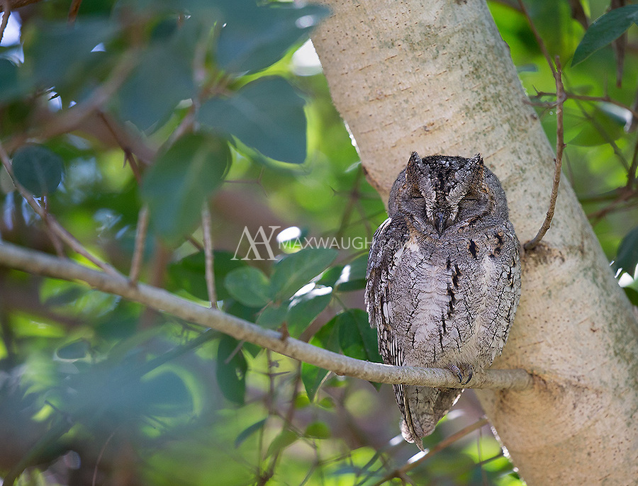 African scops owls are reliably found in Satara camp in Kruger.