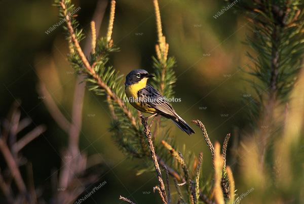 Kirtland's Warbler, Dendroica kirtlandii, in Jack Pine. Michigan