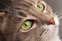 "A closeup of Lucca, a blue patched tabby and white shorthair house cat, looking up at something exciting.  I like her attentive, alert expression that shows off her cute ""old rose"" nose and her bright green eyes.  The fur on the top of her nose is also in sharp focus, showing off the different directions it lays.  The background is off white, and out of focus."