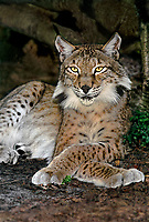 657144003 portrait of a canadian lynx felis lynx - animal is a wildlife rescue - species is endangered in its northern north america habitat