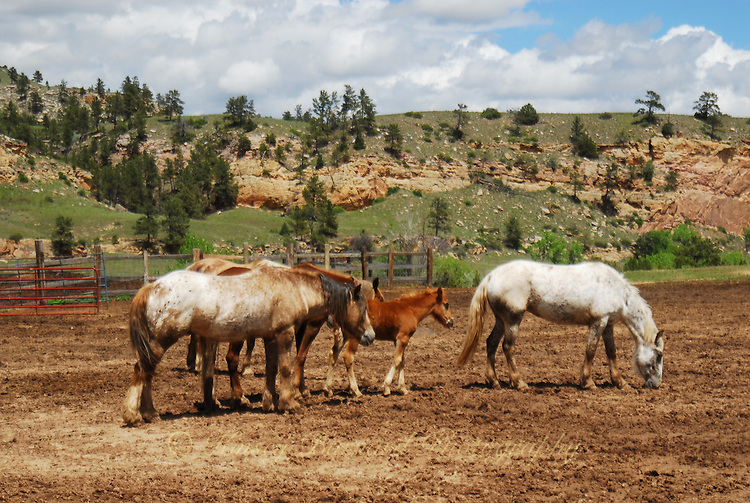 Wild mustang horses at the Black Hills Wild Horse Sanctuary