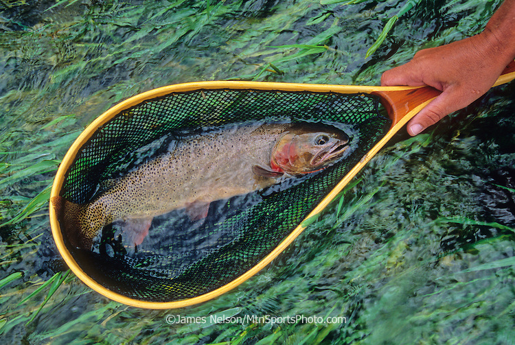 08514-D. A Yellowstone cutthroat trout is revived in a fishing net on the South Fork of the Snake River, Idaho.