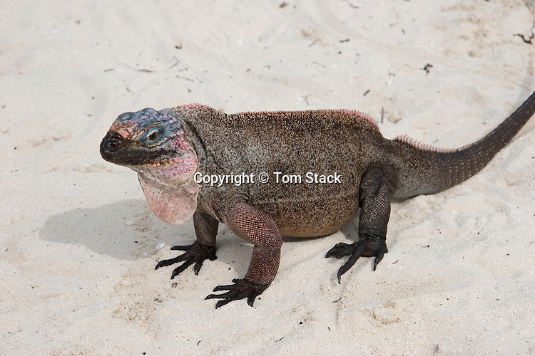 Allen's Cay iguana, Cyclura cychlura inornata, Endangered Species