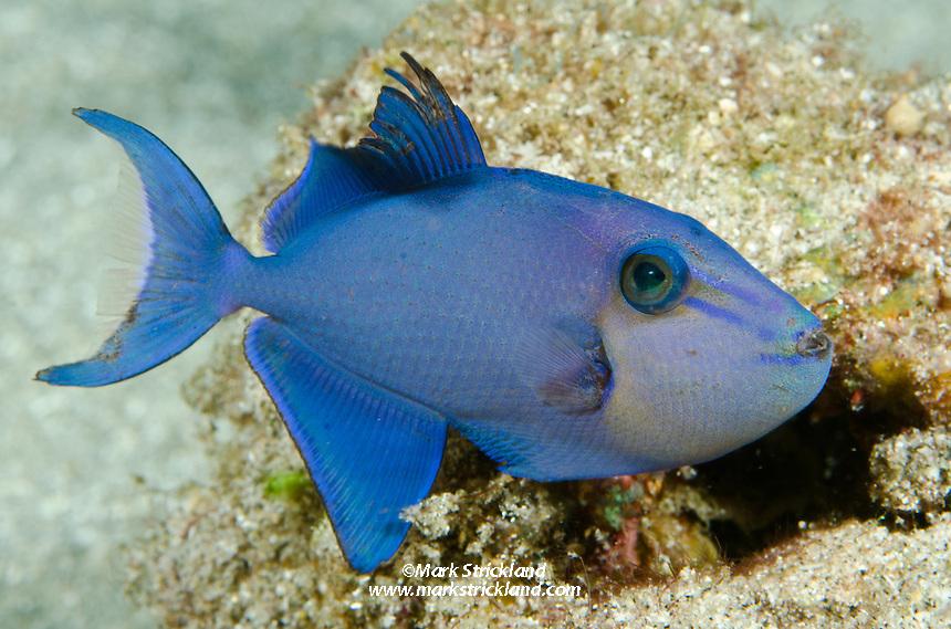Juvenile Redtooth triggerfish, Odonus niger, Cenderawasih Bay, West Papua, Indonesia
