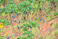 scarlet macaw, Ara macao, blue-and-yellow macaw, Ara ararauna, red-bellied macaw, Orthopsittaca manilatus, southern mealy amazon, Amazona farinosa, blue-headed parrot, Pionus menstruus, and yellow-crowned amazon, Amazona ochrocephala, Tambopata National Reserve, Madre de Dios Region, Tambopata Province, Peru, Amazonia