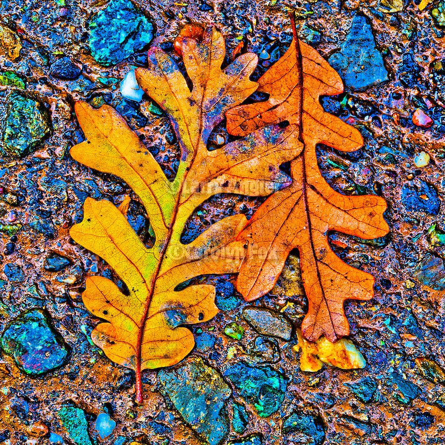 Oak leaf on the pavement during autumn, Peek Hill, Jackson