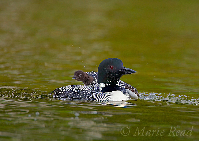 Common Loon (Gavia immer) adult with chick climbing onto its back, Michigan, USA.
