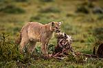 Mountain Lion (Puma concolor) female feeding on Guanaco (Lama guanicoe) kill, Torres del Paine National Park, Patagonia, Chile