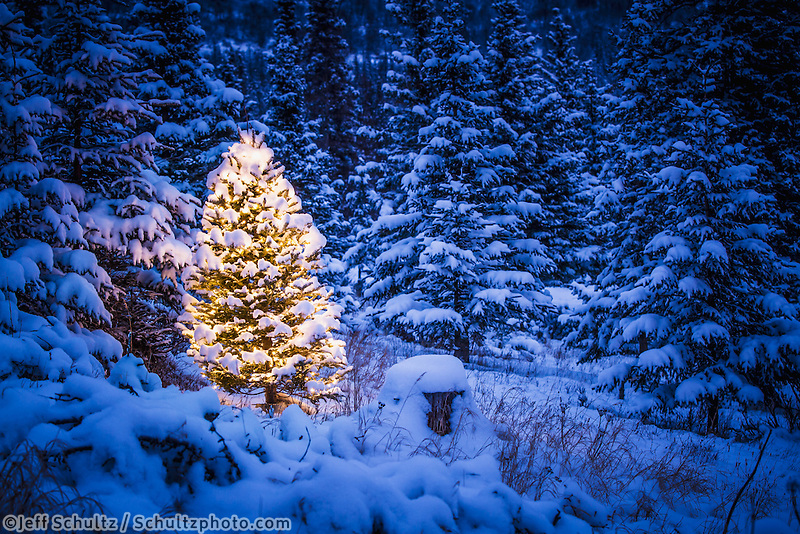 """Lit Christmas Tree in snow covered forest of spruce trees,Chugach Mountain foothills, Southcentral Alaska, Winter  """