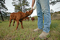 Bottle feeding milk to a calf on a ranch.