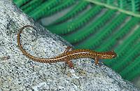 Long-tailed Salamander; Eurycea longicauda; PA, Philadelphia