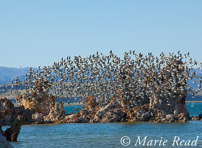 Wilson's Phalaropes (Phalaropus tricolor), flock flying past tufa formations, Mono Lake, California, USA