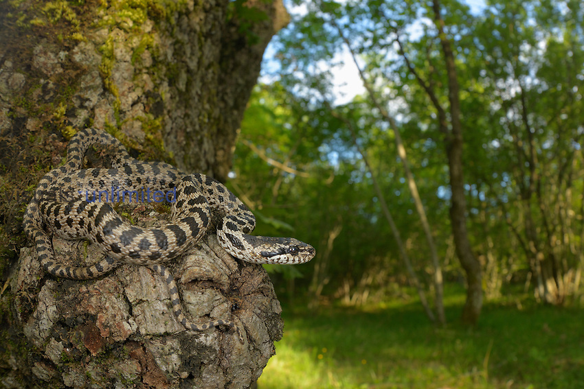 Four-lined Snake (Elaphe quatuorlineata), Croatia