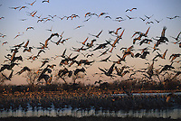 Sandhill Cranes fly out from the Platt River at dawn to forage in neighboring fields while on their northward migration.