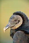 Black vulture portrait, Everglades National Park, Florida, USA