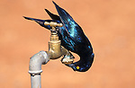 Cape glossy starling, Lamprotornis nitens, Etosha National Park, Namibia