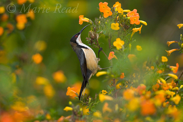 Eastern Spinebill (Acanthorhynchus tenuirostris), attracted to feed on nectar from flowers, Atherton Tableland, Queensland, Australia,