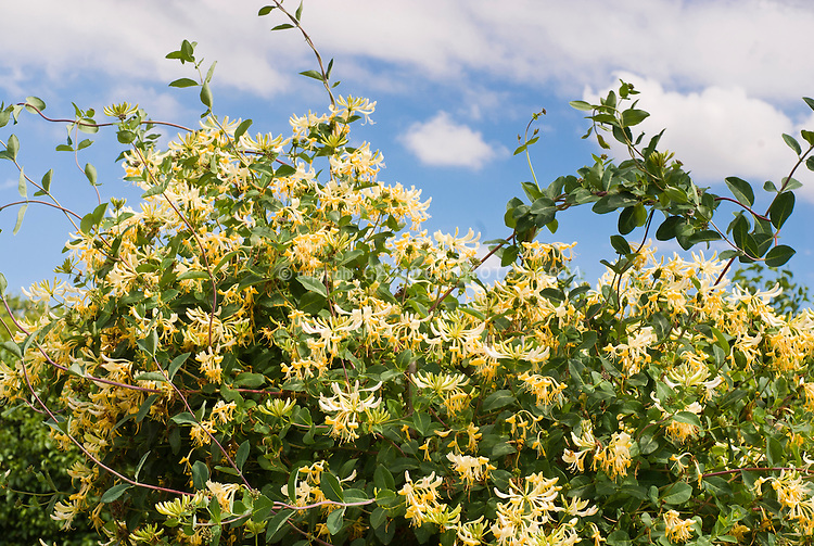 Lonicera periclymenum 'Graham Thomas' fragrant honeysuckle vine with yellow and white flowers, against sunny blue sky