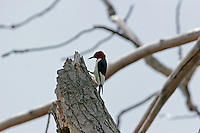Red-headed woodpecker female on nest hole snag