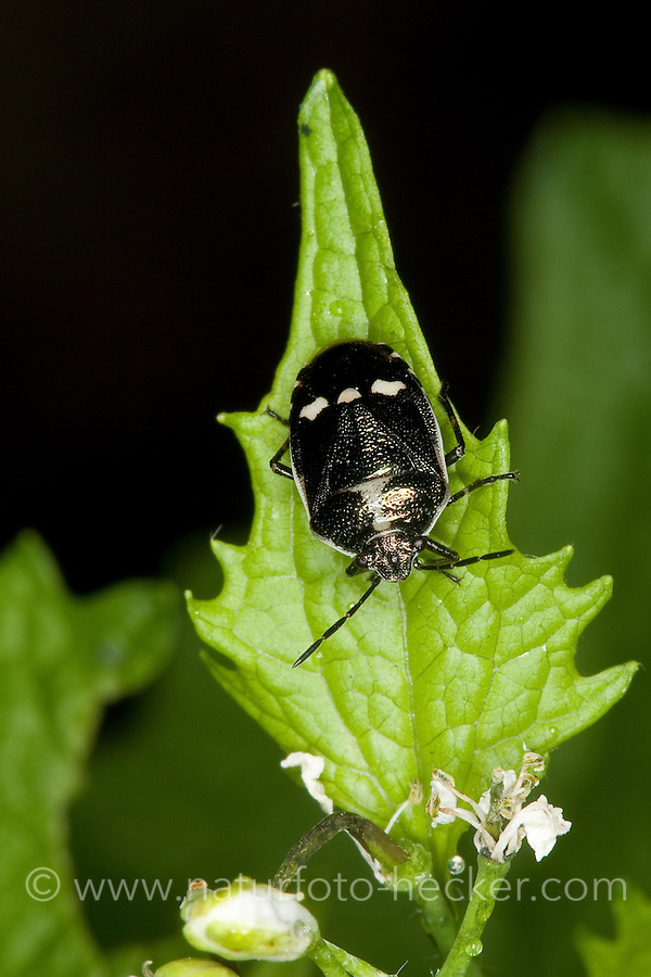 Kohlwanze, Kohl-Wanze, Eurydema oleraceum, brassica bug