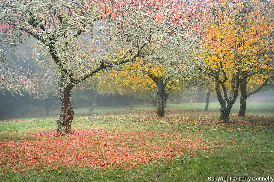 Vashon, Washington: Fruit orchard in fog, late fall. Froggsong garden