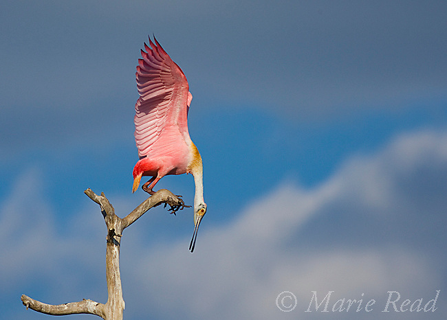 Roseate Spoonbill (Ajaia ajaja), adult in breeding plumage landing on a perch, Orlando, Florida, USA