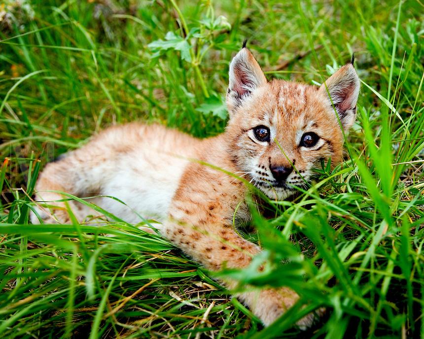 Lynx kitten resting in grass