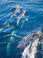 A pod of dolphins swimming in the Pacific ocean of Kochi, Japan.