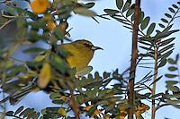 Anianiau bird (hemignathus parvus) perched on tree branch, Maui Island, Hawaii Islands, United States