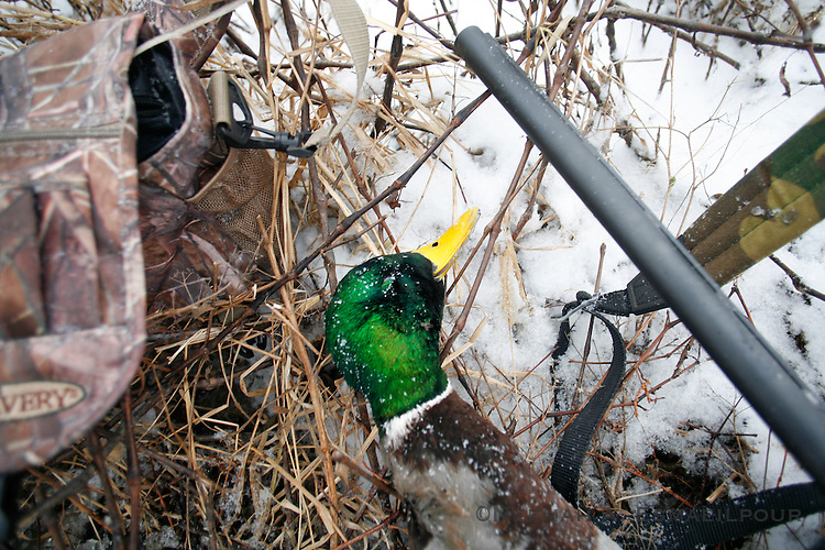 A mallard drake while hunting with Grant and Aaron.