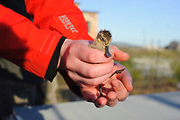 A member of the captive flock. An almost fledged Spoon-billed Sandpiper chicks being examined by an aviculturist. Anadyr, Chukotka, Russia. July.
