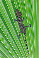 Mediterranean Gecko, Hemidactylus turcicus, young on palm frond, Willacy County, Rio Grande Valley, Texas, USA