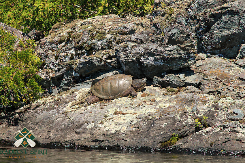 &quot;Snapping Turtle&quot;<br />