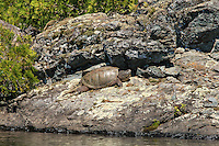 """Snapping Turtle""<br />