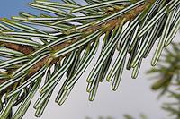 Weiß-Tanne, Weißtanne, Weisstanne, Edeltanne, Silbertanne, Tanne, Abies alba, European silver fir, silver-fir