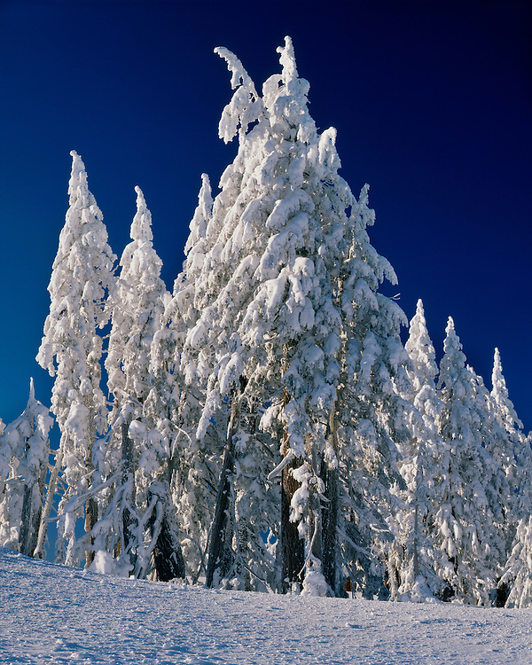 Snow-encrusted conifers; Crater Lake National Park, OR