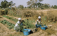 Village women planting  Acacia Albida trees coming from the own home trees nursery