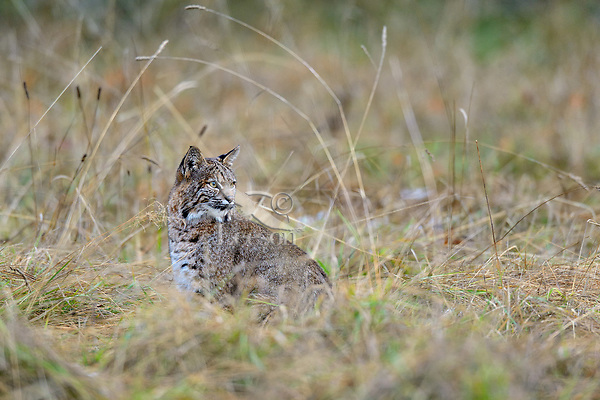 Wild Bobcat (Lynx rufus) in old homestead field.  Olympic National Park, WA.  November.  (Completely wild, non-captive cat.)