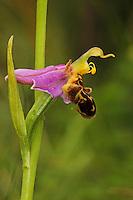 Bienen-Ragwurz, Bienenragwurz, Ophrys apifera, bee orchid, L'Ophrys abeille, Ragwurzen, Kerfstendel, Mimikry, Lockmimikry